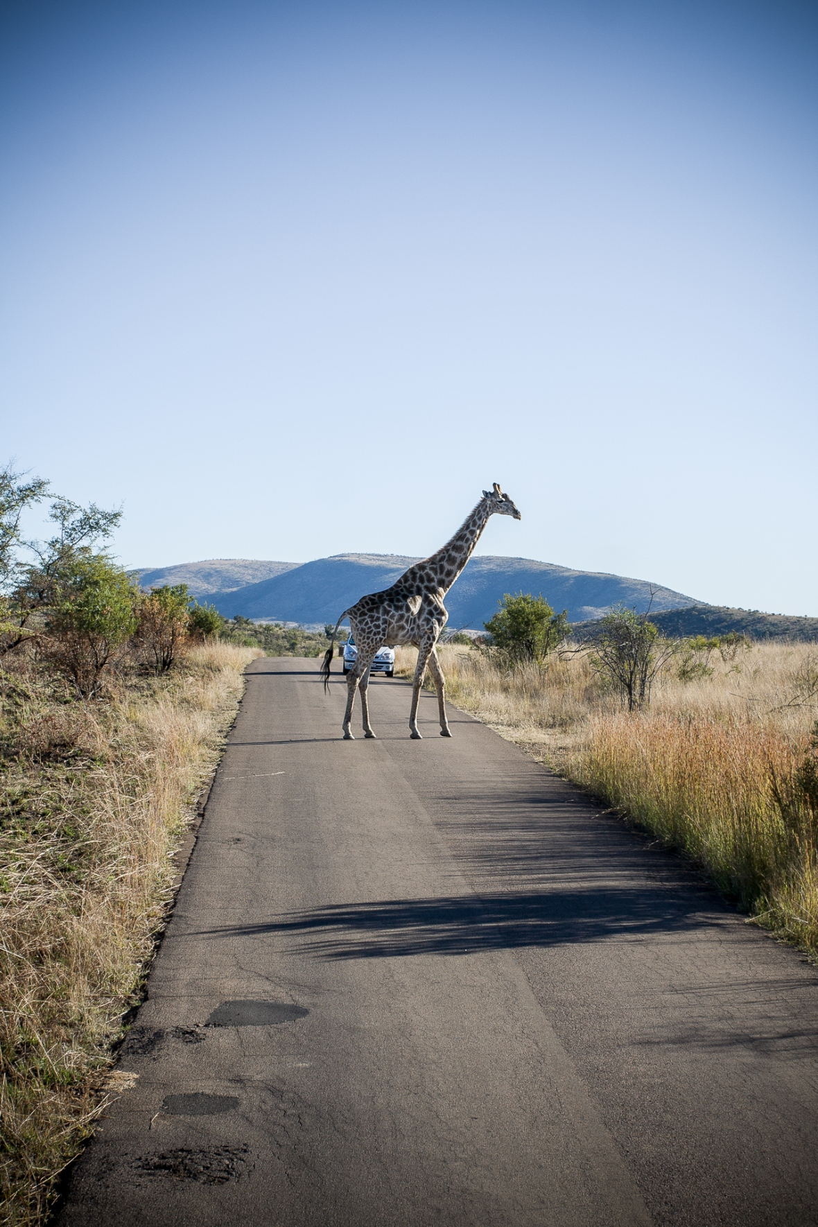Giraffe crossing a road in a African Game Reserve